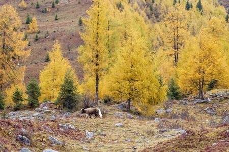 yak walk around the mountain, China