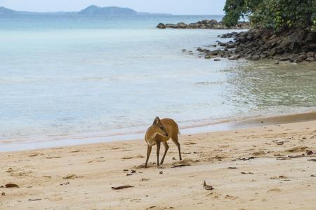 barking deer at Ko Rang, Mu Koh Chang national park, Trad province, Thailand Zdjęcie Seryjne
