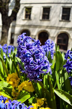 Flowering blue Hyacinth (Hyacinthus orientalis) and white pansy flower plants growth in the flowerbed.