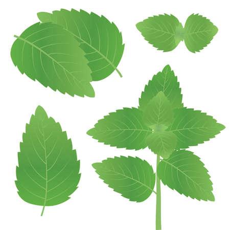 basil tulsi tree leaves vector