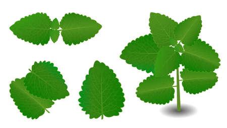 lemon balm or ajwain vector leaves