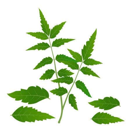 Neem tree leaves vector illustration Medicinal neem leafs