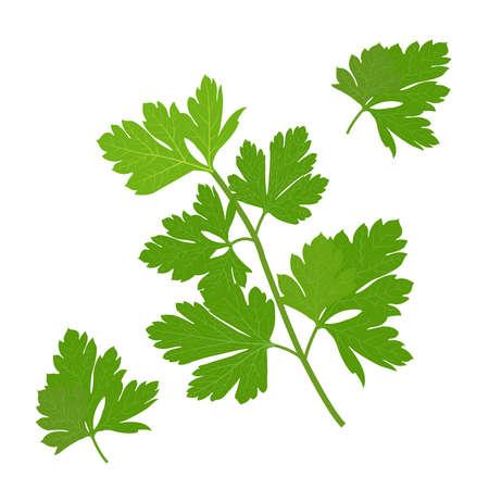 Persley leaf, green parsley leaves organic parsley vector illustration