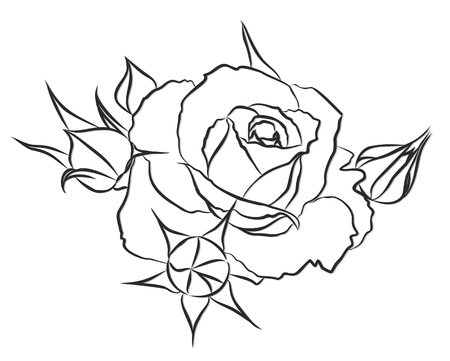 blossoming: A sketch of the blossoming garden rose. Illustration