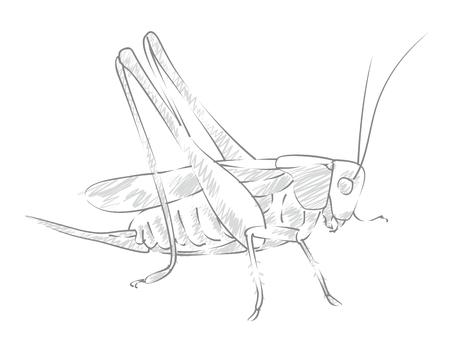 locust: Sketch large locust.