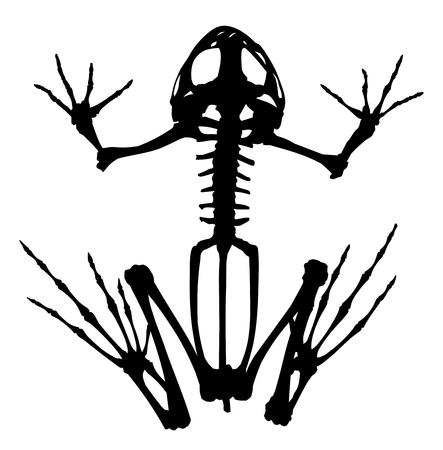 Skeleton of a big frog.
