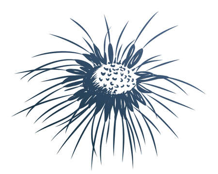 The Sketch of Field dandelion with seeds.