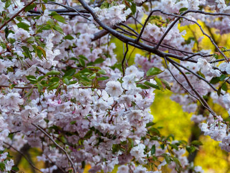Close up sakura flowers on blurred bokeh background. Cherry blossom branch in bloom.Garden on sunny spring day. Soft focus macro floral photography. Shallow depth of field.