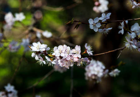 Cherry blossom tree in bloom. Closeup of sakura flowers on blurred greenery background with bokeh. Garden on sunny spring day. Shallow depth of field. Soft focus floral photography.