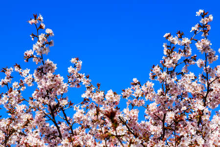 Cherry blossom tree in bloom. Sakura flowers on azure sky background. Garden on sunny spring day. Soft focus botanical photography. Shallow depth of field. Blurred floral background. Imagens