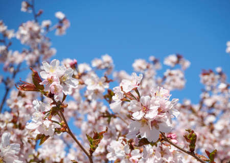 Cherry blossom tree in bloom. Sakura flowers on azure sky background. Garden on sunny spring day. Soft focus botanical photography. Blurred floral background.  Shallow depth of field.
