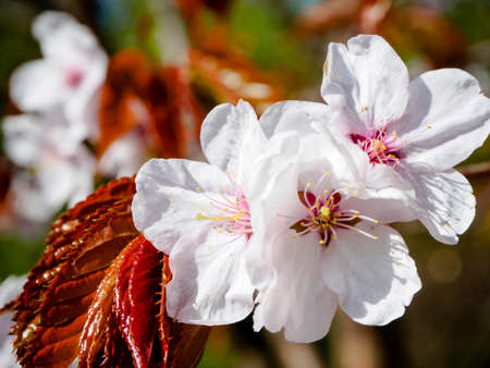 Closeup sakura flowers on blurred bokeh background. Cherry blossom branch in bloom. Garden on sunny spring day.  Shallow depth of field. Soft focus macro floral hotography. Imagens - 124773736