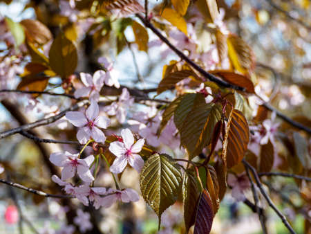 Cherry blossom branch in bloom. Close up sakura flowers on blurred bokeh background. Garden on sunny spring day.  Soft focus macro floral photography. Shallow depth of field. Imagens