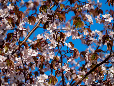 Cherry blossom tree in bloom. Sakura flowers on blue sky background. Garden on sunny spring day. Soft focus botanical photography. Blurred floral background.  Shallow depth of field.