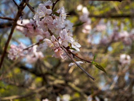 Cherry blossom branch in bloom. Closeup of sakura flowers on blurred bokeh background.Garden on sunny spring day. Soft focus macro floral photography. Shallow depth of field.