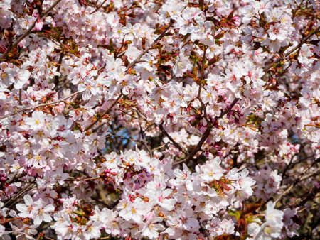 Floral background. Cherry blossom tree in bloom. Sakura flowers  in bloom. Garden on sunny spring day. Soft focus botany photography. Shallow depth of field. Imagens - 124773742