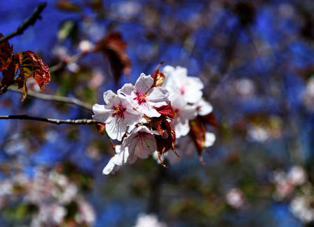 Cherry blossom branch in bloom. Close-up of sakura flowers on blurred bokeh background. Soft focus macro floral photography. Shallow depth of field. Garden on sunny spring day. Imagens - 124773750