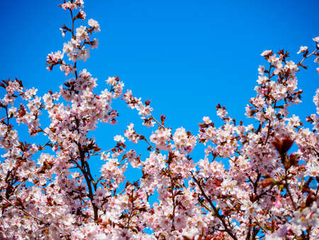 Cherry blossom tree in bloom. Sakura flowers on azure sky background. Garden on sunny spring day. Soft focus botanical photography. Blurred floral background.  Shallow depth of field. Imagens - 124773751