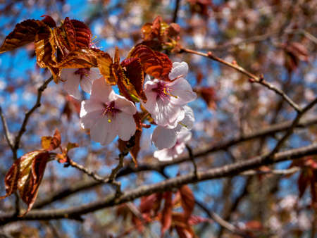 Cherry blossom tree in bloom. Closeup Sakura flowers on blue sky background. Garden on sunny spring day. Soft focus floral photography. Shallow depth of field. Imagens - 124773752