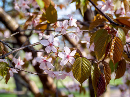 Cherry blossom branch in bloom. Close-up sakura flowers on blurred bokeh background. Garden on sunny spring day.  Soft focus macro floral photography. Shallow depth of field. Imagens