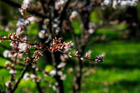 Cherry blossom tree in bloom. Close up of sakura flowers on blurred greenery background with bokeh. Garden on sunny spring day. Shallow depth of field. Soft focus floral photography. Imagens - 124773755