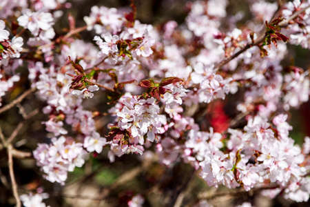 Cherry blossom tree in bloom. Sakura flowers  in bloom. Garden on sunny spring day. Soft focus botany photography. Shallow depth of field. Floral background.