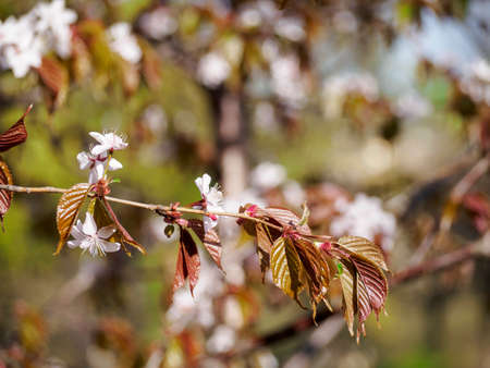 Cherry blossom branch in bloom. Closeup of sakura flowers surrounded by greenery on blurred bokeh background. Soft focus macro floral photography. Garden on sunny spring day. Shallow depth of field. Imagens - 124773553