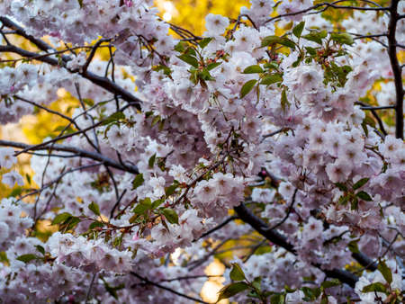 Cherry blossom tree in bloom. Closeup of sakura flowers surrounded by greenery on blurred bokeh background. Soft focus macro floral photography. Garden on sunny spring day. Shallow depth of field. Imagens - 124773556