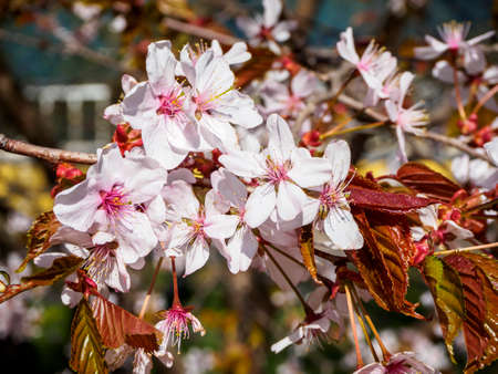 Closeup sakura flowers on blurred bokeh background. Cherry blossom branch in bloom.   Shallow depth of field. Garden on sunny spring day. Soft focus macro floral hotography. Imagens