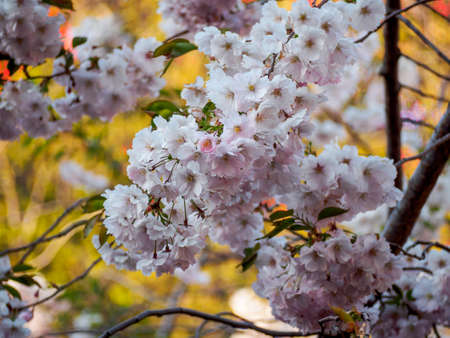 Cherry blossom tree in bloom. Closeup of sakura flowers surrounded by greenery on blurred bokeh background. Soft focus macro floral photography. Garden on sunny spring day. Shallow depth of field.