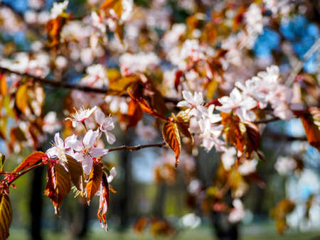 Cherry blossom branch in bloom. Closeup of sakura flowers surrounded by greenery on blurred bokeh background. Soft focus macro floral photography. Garden on sunny spring day. Shallow depth of field.