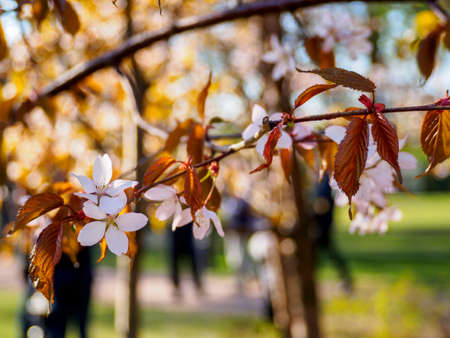Cherry blossom tree in bloom. Close-up of sakura flowers surrounded by greenery on blurred bokeh background. Soft focus macro floral photography. Garden on sunny spring day. Shallow depth of field.