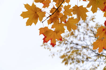 Yellow fall maple leaves against the sky. Indian summer or Autumn mood scene. Tilt-shift effect. Selective focus photography. Blurred seasonal nature background with copy space for text. Imagens