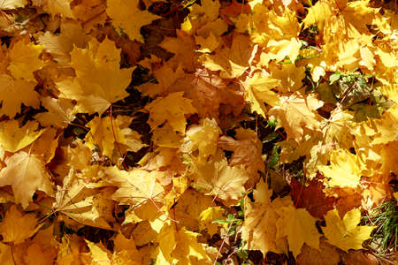 Autumn yellow maple leaves on the ground soft focus photography. Natural fall pattern background. City park in sunny autumn day.