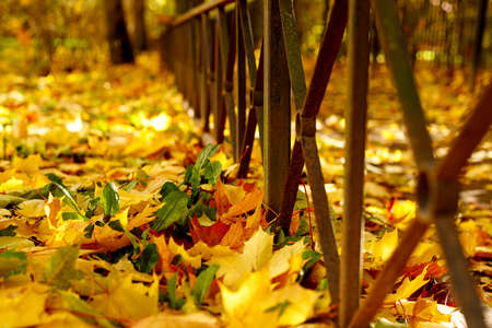 Colorful autumn maple leaves on the ground soft focus photography. Bright fall pattern background. Garden in sunny autumn day.
