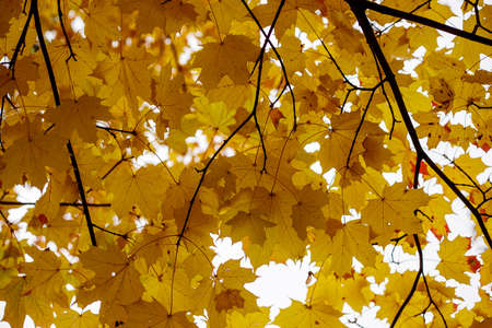 Yellow fall maple leaves against the sky. Indian summer or Autumn mood scene. Selective focus photography. Tilt-shift effect. Blurred seasonal nature background.