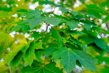 Green and yellow maple leaves soft focus photography. Natural fall pattern background. Park in sunny autumn day.  Imagens