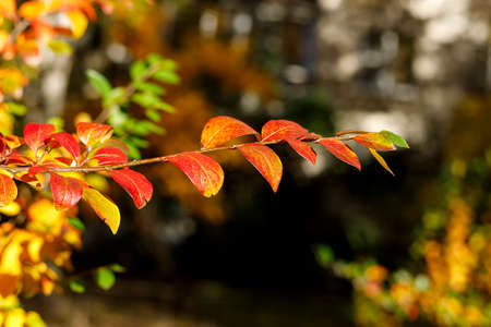 Branch with red leaves. Colorful autumn bush. Autumnal garden on a sunny day. Selective focus photography. Bright fall background with bokeh. Imagens