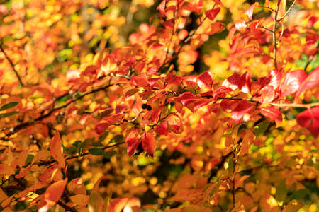 Bush with colorful leaves. Autumnal garden on a sunny day. Autumn mood scene. Bright fall background with bokeh. Selective focus photography.