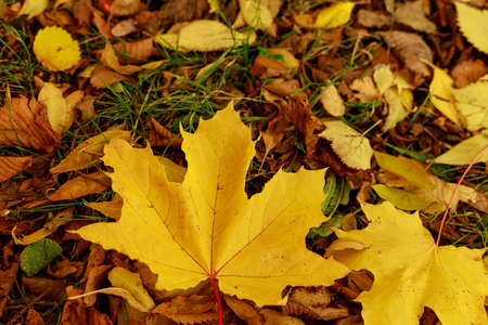 Fallen leaves on the green grass in autumnal garden. Closeup of yellow maple leaf on a sunny day. Autumn mood scene. Selective focus photography. Seasonal fall background.