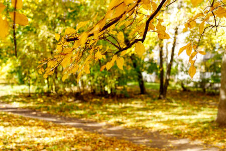 Yellow leaves on branch highlighted by sunlight soft focus photography. Bright fall pattern background with bokeh. Park in sunny autumn day.
