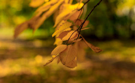 Yellow leaves on branch soft focus photography. Bright fall pattern background with bokeh highlighted by sunlight. Park in sunny autumn day. Banco de Imagens