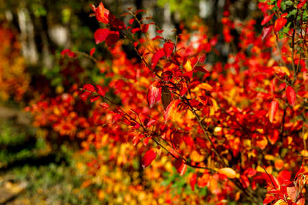 Bush with colorful leaves. Autumnal garden on a sunny day. Autumn mood scene. Bright fall blurred background with bokeh. Selective focus photography.