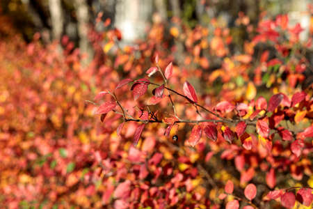 Bush with colorful leaves. Autumnal garden on a sunny day. Autumn atmosphere scene. Fall background with bokeh. Selective focus photography.