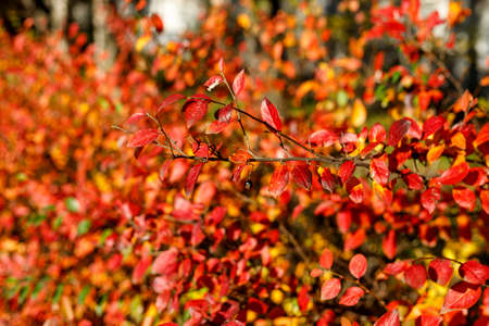 Scenic view of bush with bright colorful leaves highlighted by sunlight. Autumnal garden on a sunny day. Vibrant fall blurred background with bokeh. Autumn vibes selective focus photography. Imagens