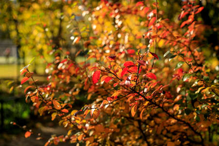 Bush with colorful leaves. Autumnal city park on a sunny day. Autumn vibes scene. Bright fall background with bokeh. Selective focus photography.