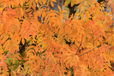 Colorful rowan leaves background. Soft focus photography. Natural fall pattern backdrop. Park in sunny autumn day. Cozy autumn mood. Banco de Imagens