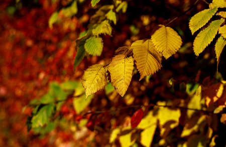 Yellow leaves on bush highlighted by sunlight soft focus photography. Vibrant fall pattern background with bokeh. Garden in sunny autumn day. Banco de Imagens