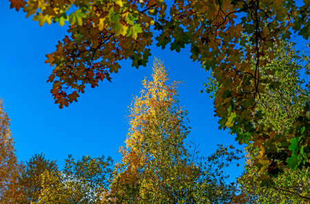 Crowns of autumn trees with colorful leaves against blue sky. or Autumn mood scene. Indian summer selective focus photography. Blurred seasonal nature background.
