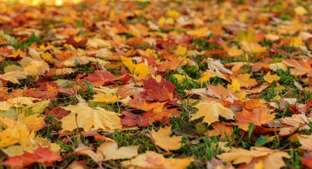 Colorful autumn maple leaves on the green grass selective focus photography. Garden in sunny autumn day. Bright fall pattern background.